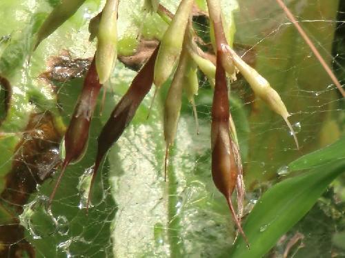 イワタバコ 秋 涙型で先端は尾状にのびる 茶