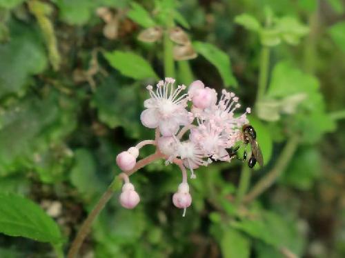 クサアジサイ 夏から秋にかけてピンクの花
