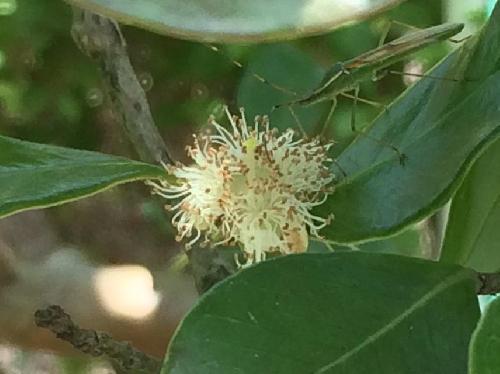 テリハバンジロウ 晩春に花糸の目立つ白い花