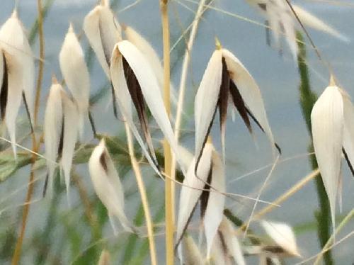 カラスムギ 晩春白褐色に熟す