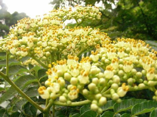 カラスザンショウ 夏 小さな白い花葯は黄色い