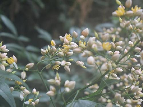 ナンテン 春 小さな白い花