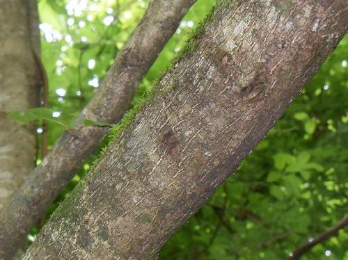 アサガラ 茶褐色の樹皮 縦に小さな皮芽