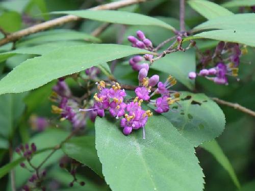 ムラサキシキブ 小さな薄紫の花