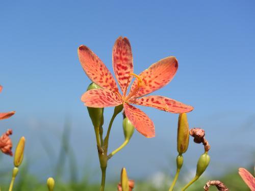 ヒオウギ 晩春~初夏 6弁の斑紋 オレンジ色の花