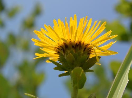 カセンソウ 夏に黄色い花