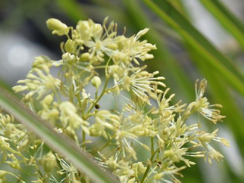 アキカラマツ 晩夏~初秋 白い雄蕊の目立つ小さな花