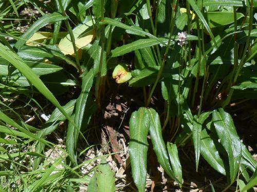 イブキトラノオ 葉は細長く全縁で互生