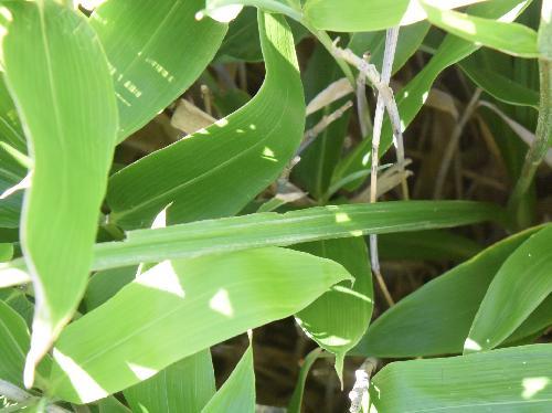 ホソバシュロソウ 幅は1~2cmで細長く平行脈 細長い葉