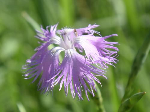 カワラナデシコ 晩夏から秋にかけて紫の花