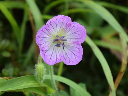 イヨフウロ 晩夏~初秋 赤紫色の網目状の筋が入るピンクの花