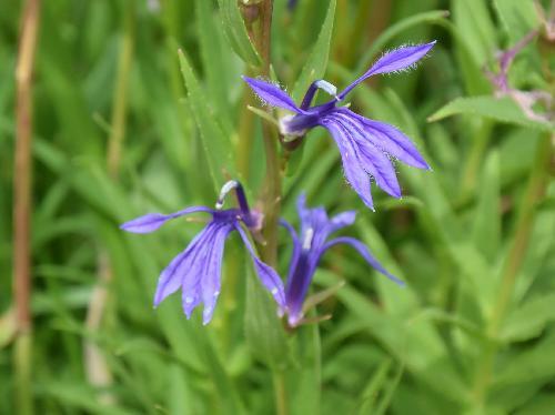 サワギキョウ 晩夏~初秋 青紫色の花を塔条につける