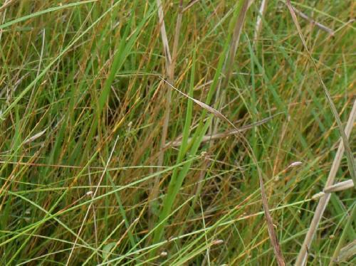 ミズトンボ 葉は細長く茎に沿うように付く
