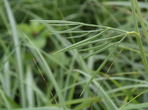 シムラニンジン 葉は1~2回羽状複葉で小葉は細長い