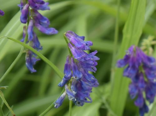 クサフジ 晩春~夏 青い花を塔状