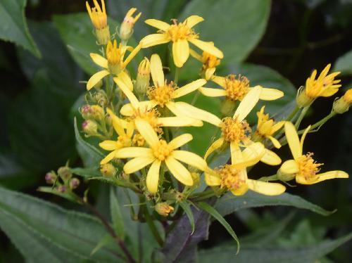 キオン 晩夏~初秋 黄色い花