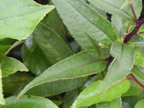 キオン 葉は狭卵形 細かい鋸歯 互生