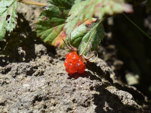 ニガイチゴ 初夏に赤橙色に熟す