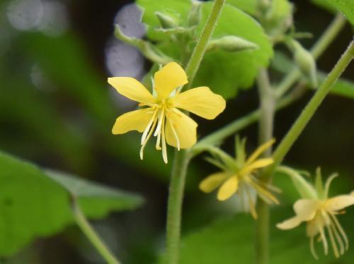 カラスノゴマ 晩夏~初秋 小さな黄色い5弁花