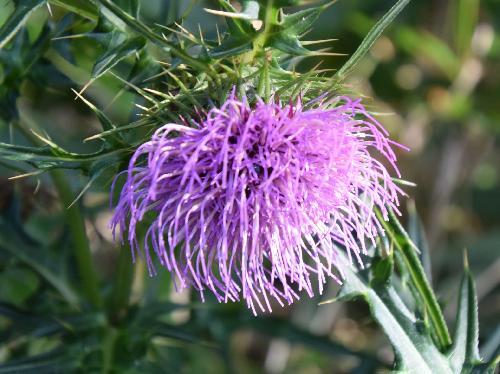 ツクシアザミ 秋に赤紫の花