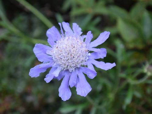 マツムシソウ 初秋に青紫色の花