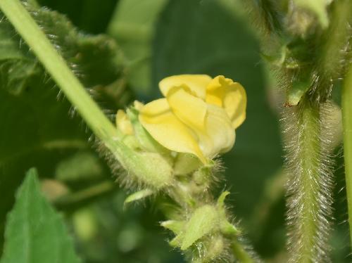 アズキ 夏~初秋 黄色の花