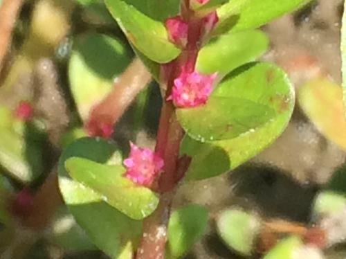 キカシグサ 晩夏~初秋 ごく小さな赤紫の花