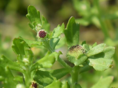 トキンソウ 夏~初秋 目立たない小さな黄緑色の花 つぼみは紫
