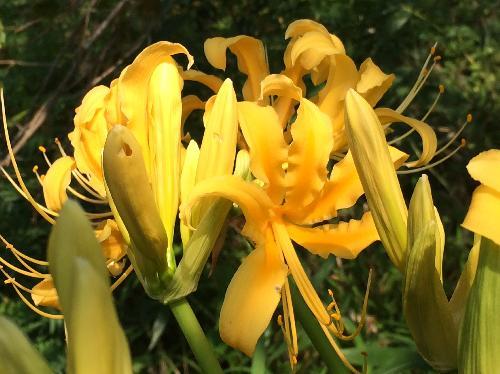 ショウキズイセン 初秋 黄色い花