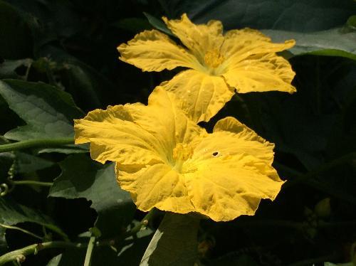 ヘチマ 夏 黄色い雄花