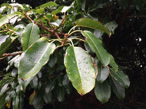 アコウ 楕円形の葉 全縁 互生
