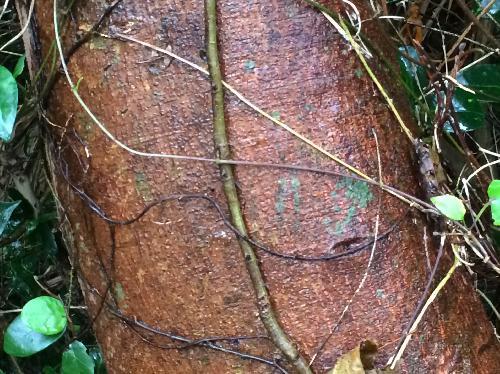 アコウ 茶褐色の樹皮