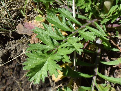 マツムシソウ 葉は羽状複葉 対生 鋸歯