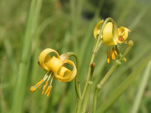 ノヒメユリ 夏に小さな黄色の花 キバナノヒメユリ