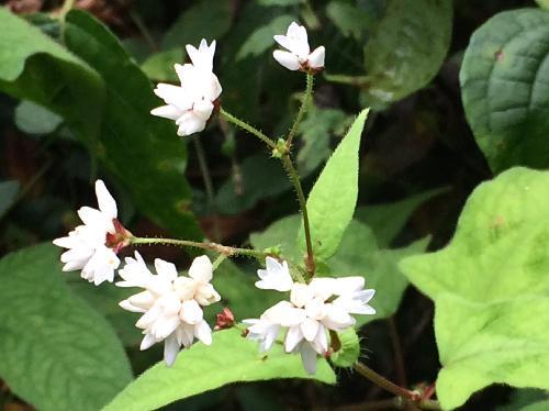 ミゾソバ 秋 小さな白い花