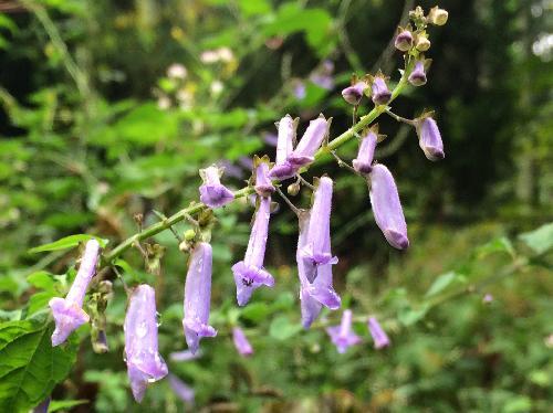 アキチョウジ 晩夏~秋 丁子に似た細長い淡紫色の花