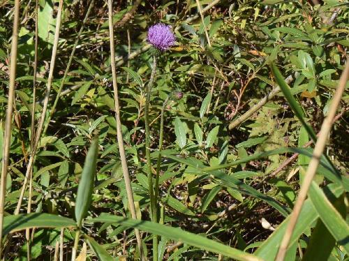 サツマアザミ 1本の花茎に2個以上の花