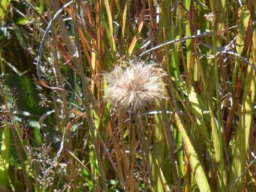 サツマアザミ 秋白褐色の綿毛