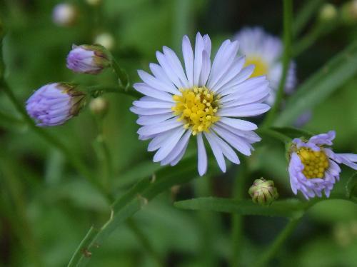 ウラギク 秋二薄青の花