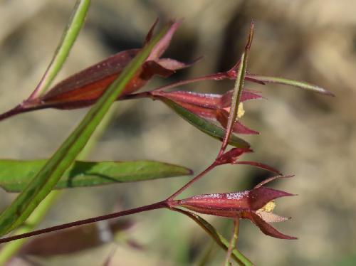 ヒレタゴボウ 秋 赤紫から茶褐色に熟すクチナシに似た実
