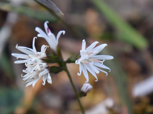 キッコウハグマ 秋に小さな白い花を付ける3っつの小花が集まっている