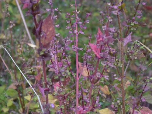 ヒメジソ 秋赤紫色に紅葉