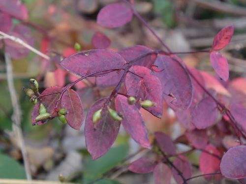 キガンピ 秋赤紫色に紅葉
