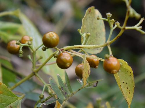 ヘクソカズラ 秋に黄褐色の小さな丸い実