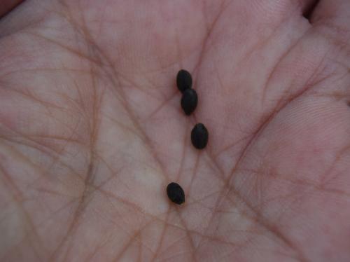 ツリフネソウ 直径2mm前後の黒い種子