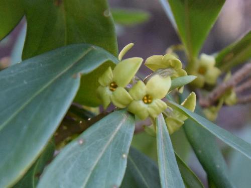 オニシバリ 晩冬から初春に小さな黄緑色の雄花