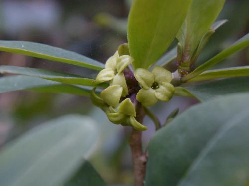 オニシバリ 晩冬から初春に小さな黄緑色の雌花