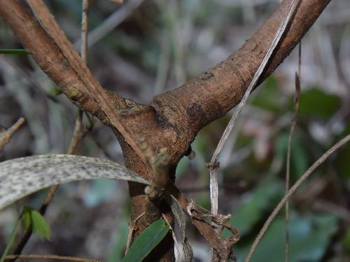 オニシバリ 樹皮は灰茶色で縦に裂ける