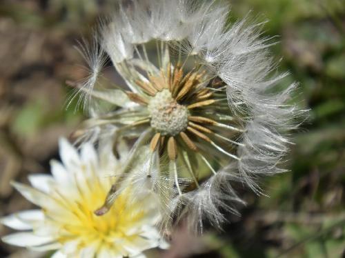 シロバナタンポポ 春~初夏 灰褐色で綿毛のある種子