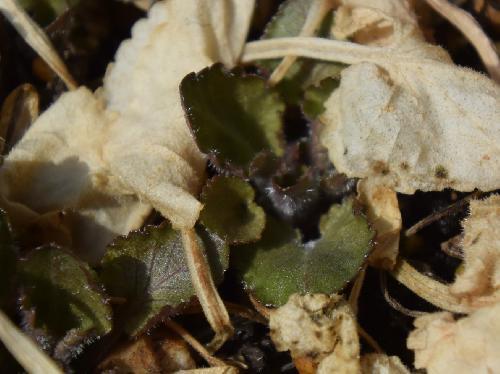アカネスミレ 新芽は赤紫色を帯び毛が目立つ
